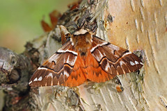 Endromidae
