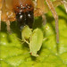 Spider attacking aphids