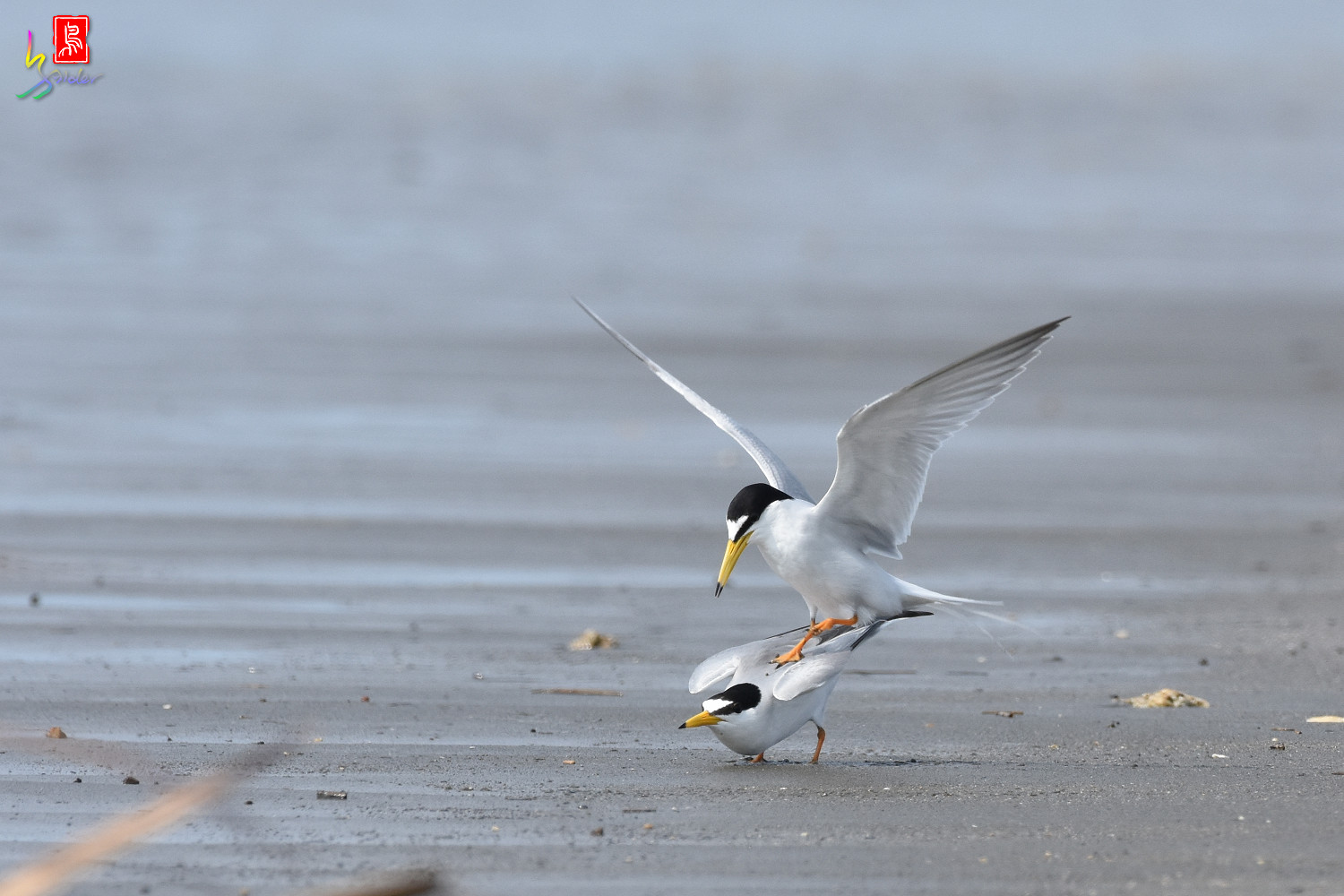 Little_Tern_4389