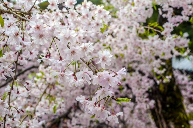 Cherry blossoms Arashiyama