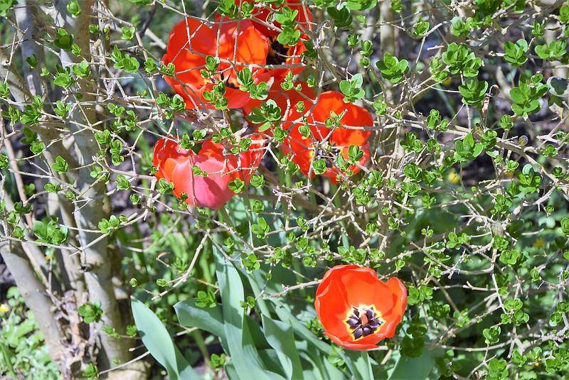 Tulips 18.04 (1)