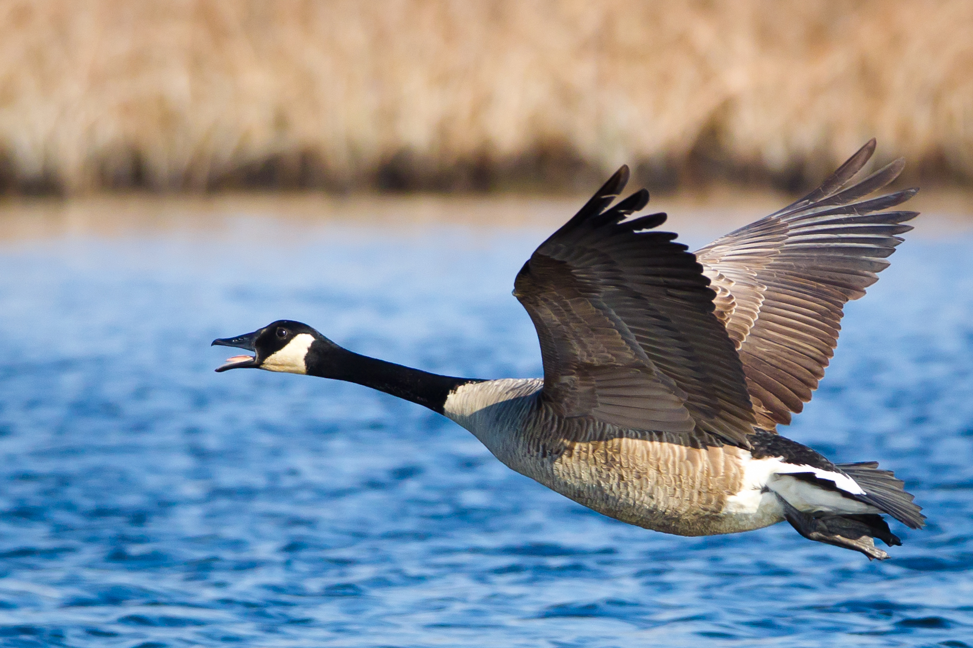 A Canada goose flying near Oceanville, New Jersey. Photo taken on December 8, 2011.