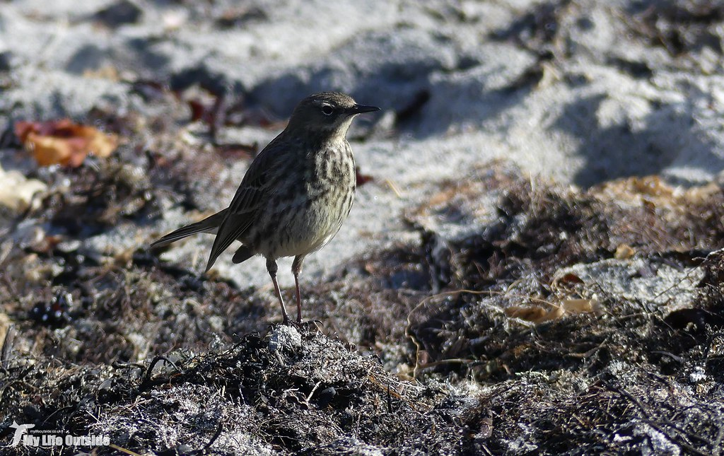 P1140428 - Rock pipit, Isle of Mull