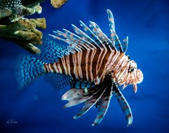 Lionfish . . .