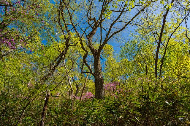 新緑とミツバツツジを見上げる