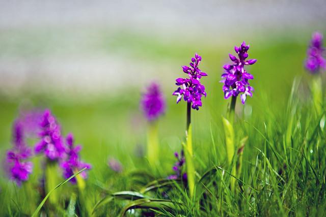 Orchid, Nikon D600, AF Nikkor 85mm f/1.8