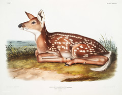American Deer (Cervus Virginianus) from the viviparous quadrupeds of North America (1845) illustrated by  John Woodhouse Audubon (1812-1862)