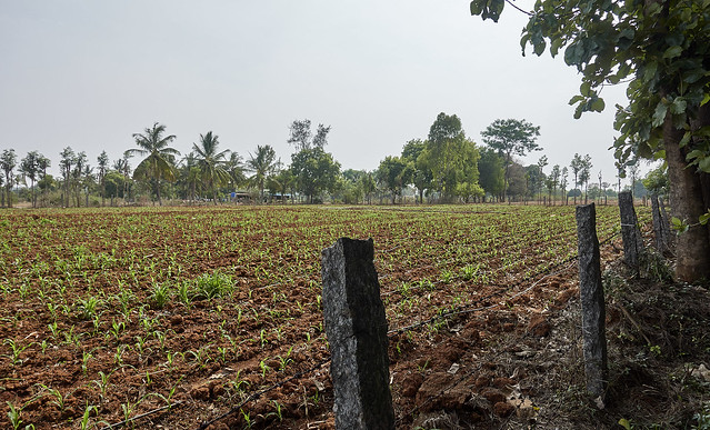 Next to the cornfield