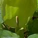Lords & Ladies Arum maculatum