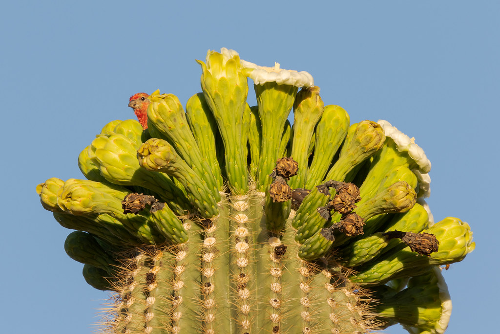 A male house finch peeks out from behind a blooming saguaro cactus in the Brown's Ranch section of McDowell Sonoran Preserve in Scottsdale, Arizona
