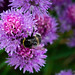 Bees in the Onion Flowers 6014