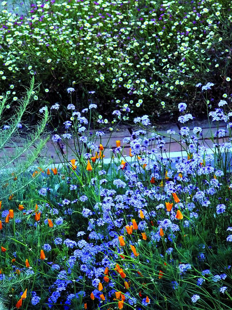 Verbena lilacina (Lilac Verbena)