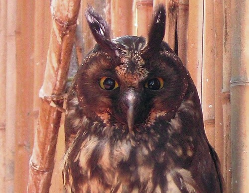 an owl with long ears...