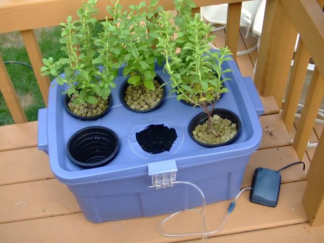 Hydroponic Stevia Garden   Flickr - Photo Sharing!