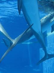 animal(1.0), fish(1.0), shark(1.0), marine biology(1.0), azure(1.0), underwater(1.0),