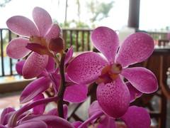 cattleya labiata(0.0), phalaenopsis equestris(0.0), cattleya trianae(0.0), pink(0.0), flower(1.0), purple(1.0), orchid family(1.0), lilac(1.0), flora(1.0), petal(1.0),