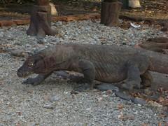 animal, reptile, komodo dragon, fauna, scaled reptile, wildlife,