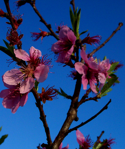 morning pink flowers blue trees light wild sky flower color tree nature leaves contrast sunrise landscape outdoors early spring woods branch bright pennsylvania country peach pa newport april perry peachtree peachblossoms dryflydrifting