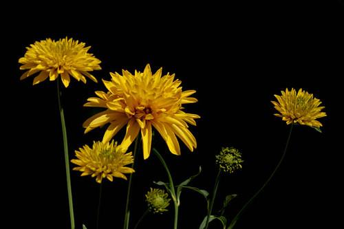 Yellow Flowers at Dras (Kargil area), India
