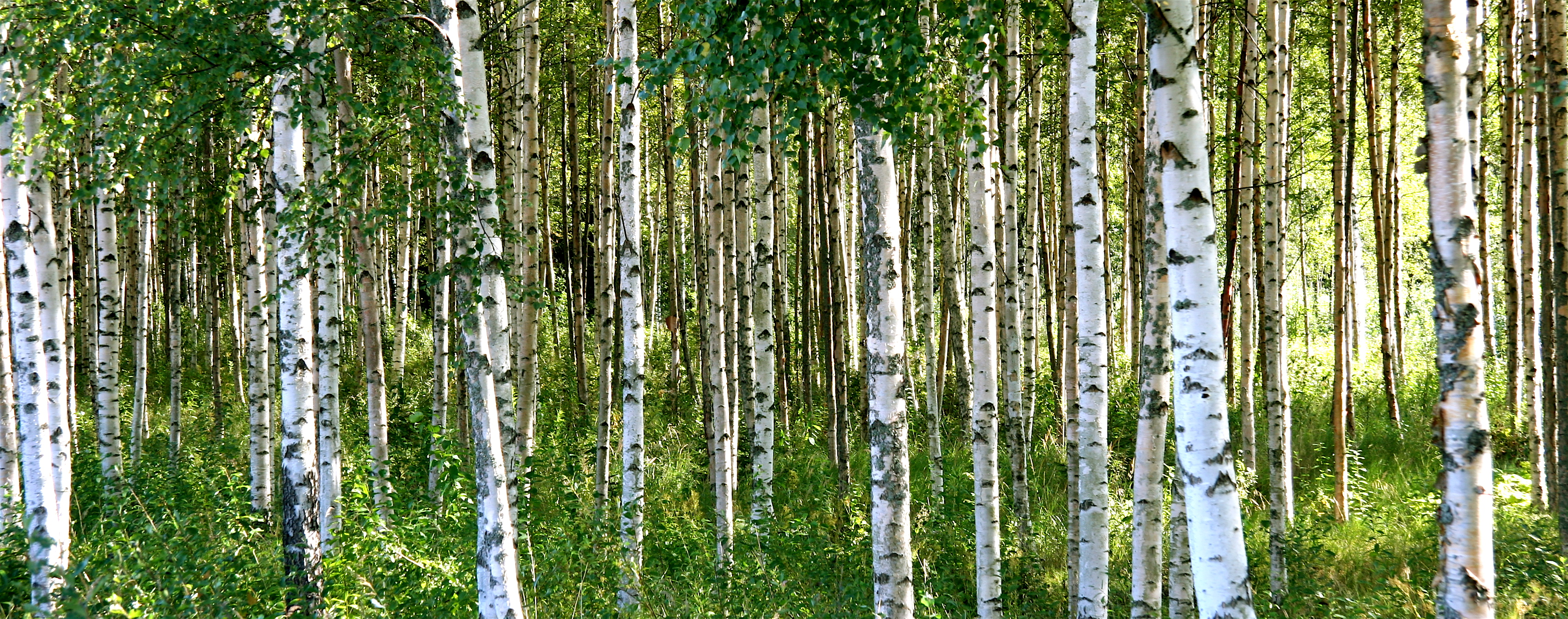 birch trees flickr photo sharing