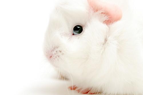guinea pig highkey by Mr Dã Tràng