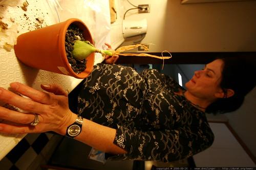 rachel potting her pregnant onion    MG 1089