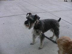 dog breed, animal, dog, schnoodle, pet, standard schnauzer, schnauzer, cesky terrier, miniature schnauzer, carnivoran, terrier,