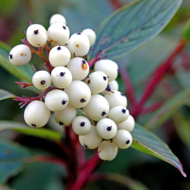 wild edible berries of alberta a field guide pdf