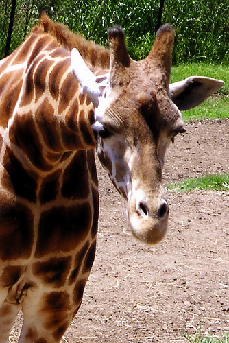 Giraffe by Old Jingleballicks