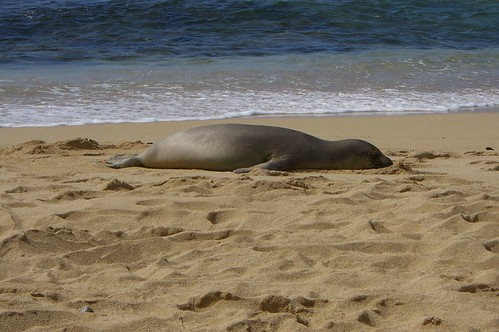 Hawaiian Monk Seal