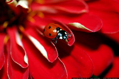 ladybug on a red zinnia petal    MG 2708