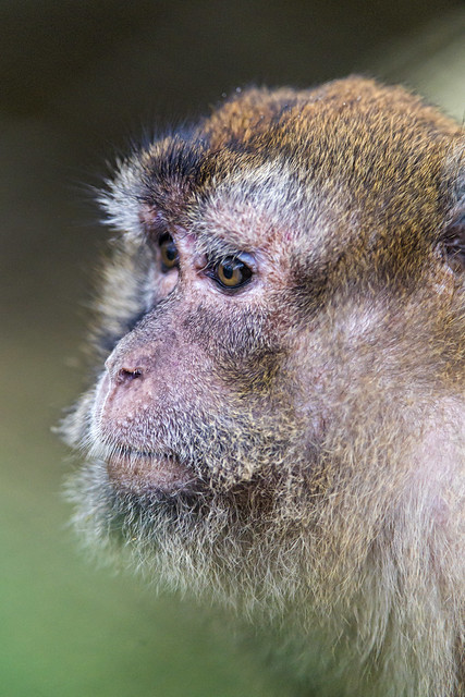 Portrait of a young macaque