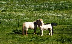 Ponies at Abbeye de Bon Repos