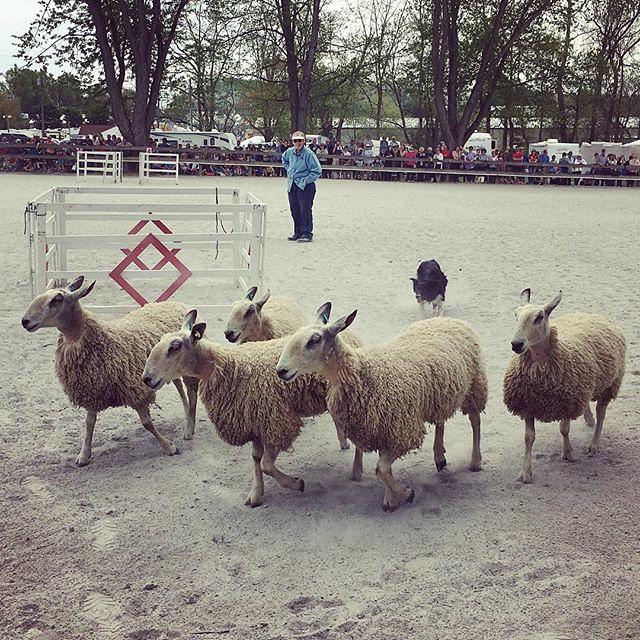 Sheep herding demo at #mdsw. 🐑🐑🐑🐑 🐕