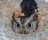 We've been hearing an Eastern Screech owl for several nights and just discovered it is living in an oak tree just outside our porch screen door!