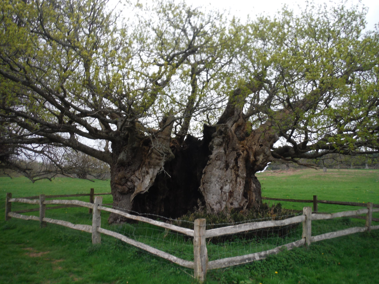 Queen Elizabeth I Oak, Cowdray Estate SWC Walk 48 Haslemere to Midhurst (via Lurgashall or Lickfold)