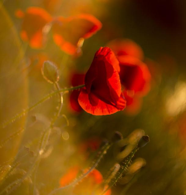 poppy, Canon EOS 1100D, Canon EF 35-80mm f/4-5.6