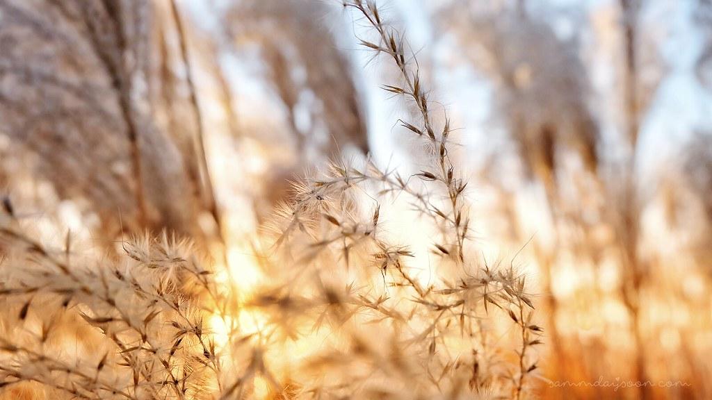 silver_grass_haneul