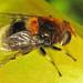 Eristalis intricarius (female) by Martin Cooper Ipswich
