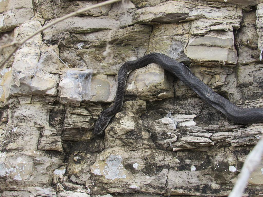 Black/Gray/Western Rat Snake