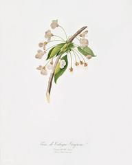 Cherry plum flower (Mirabolano) from Pomona Italiana (1817 - 1839) by Giorgio Gallesio (1772-1839).