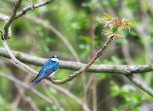 um passarinho azul num ramo entre folhagens verdes ao fundo