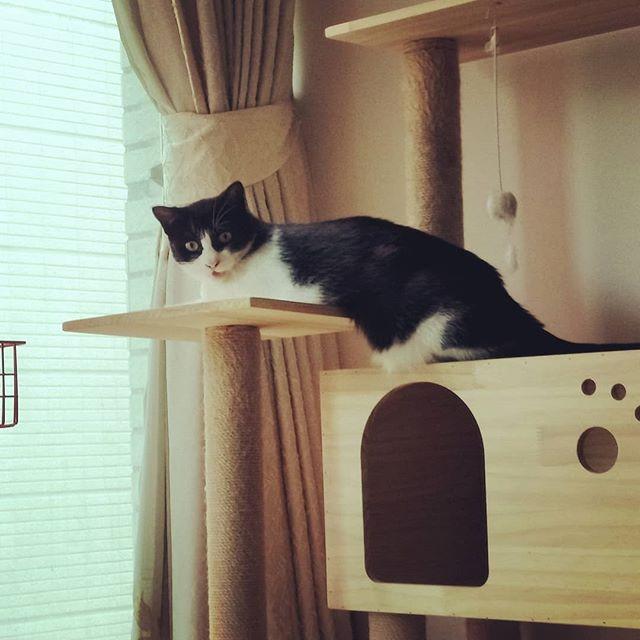 20180521 糖蜜啊~ 這樣趴肚子有比較涼嗎? #戴家黑糖蜜 #cats #livingwithcats