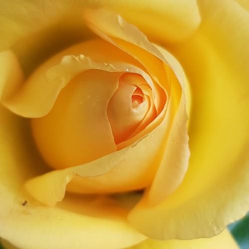 My yellow rose...