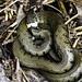 A Grass Snake