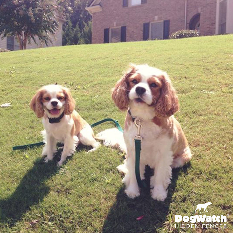 Charley and Murphy, Cavalier King Charles Spaniels, DogWatch of Metro Atlanta
