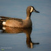 Blue-winged Teal, drake IMG 5293 by Craig Strand Photography