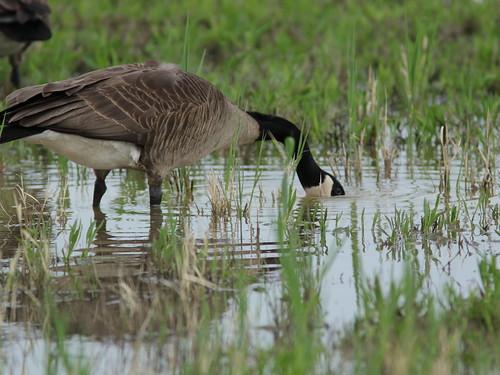 Canada Goose 2-20180515