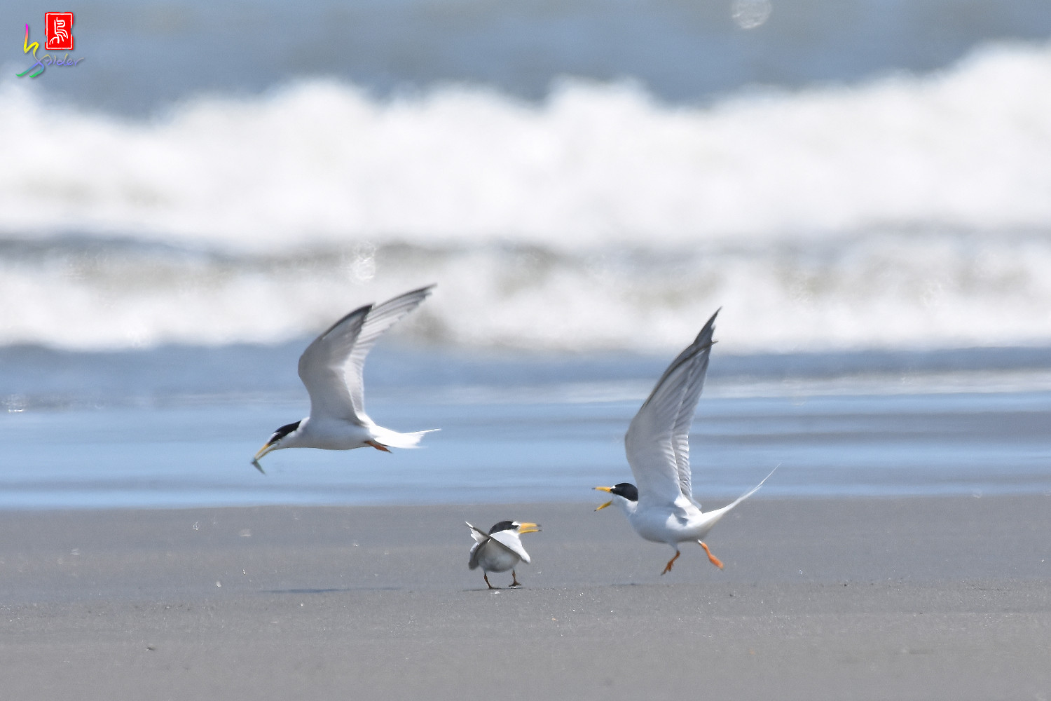 Little_Tern_7513