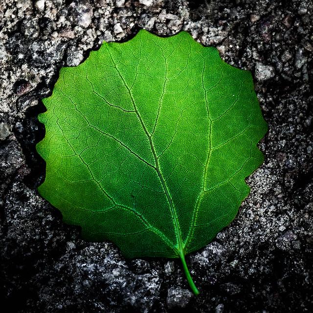 Round green leaf